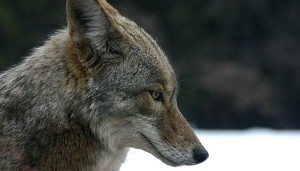 The Real Eastern Coyote with Chris Schadler ~ (Registeration Require) @ 6:30 on 12/05/19