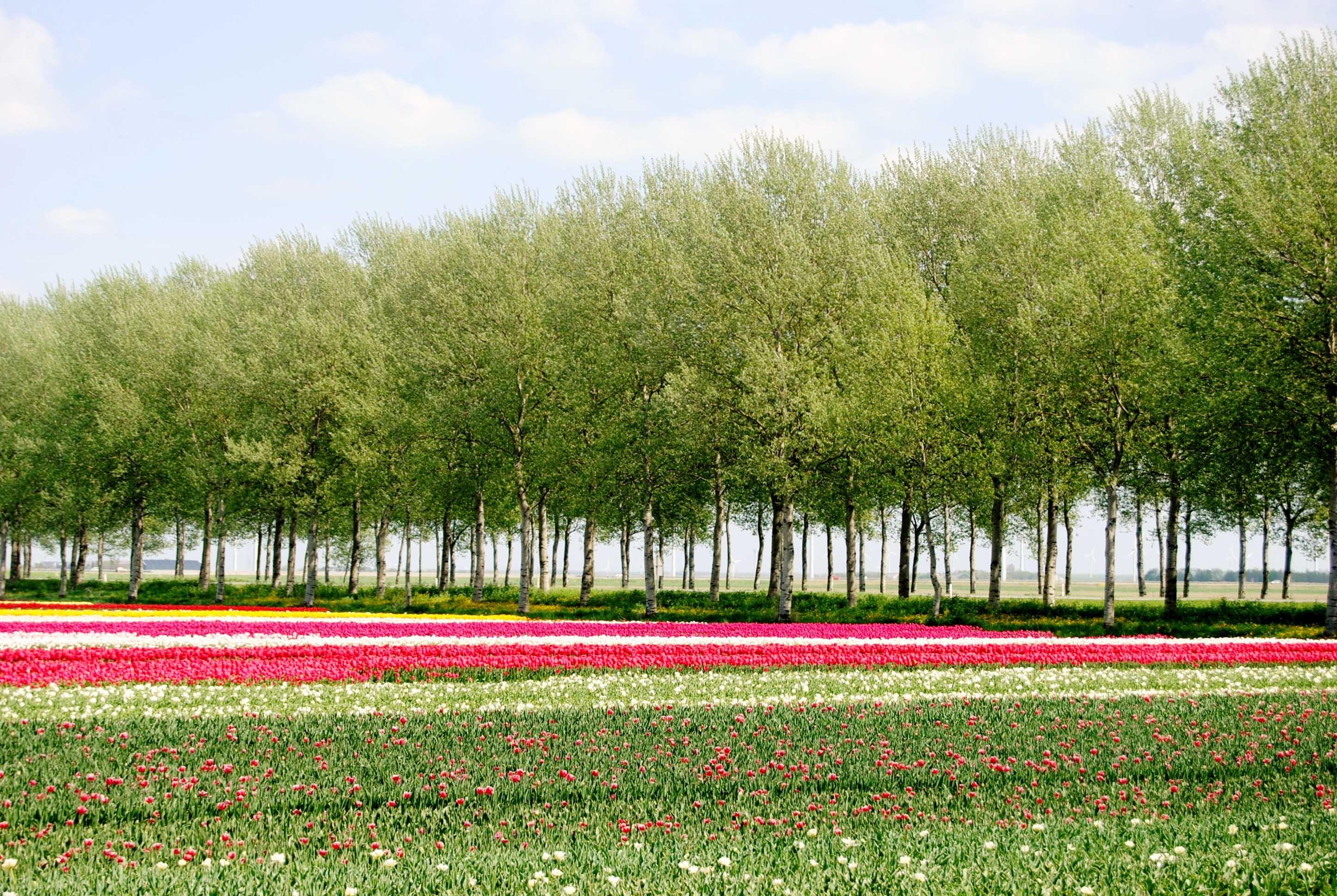Tulip Season Kimball